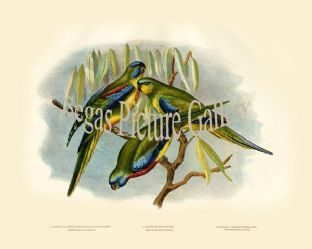 Parakeet, Chestnut Shouldered Grass (Euphema Pulchella)